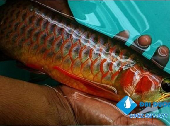 Kinh nghiệm nuôi cá rồng hay P.1