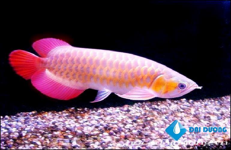 cá hồng long