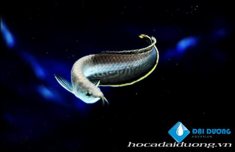 cá hắc long